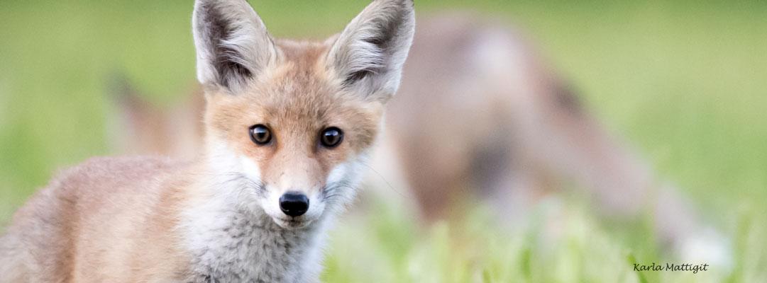 AugenBlicke mit einem Fuchs